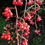 Cotoneaster Berries