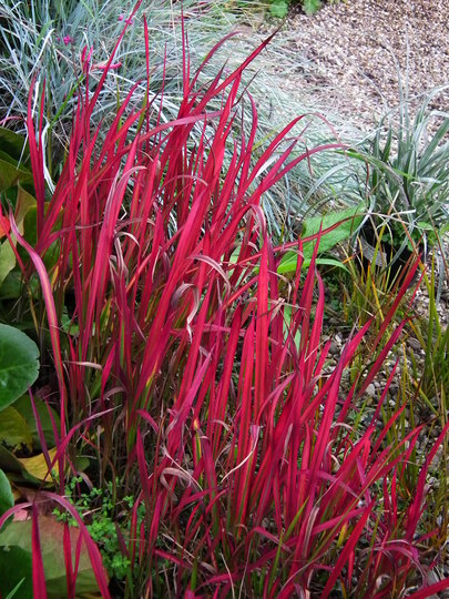 Imperata cylindrica red baron (Imperata cylindrica red baron)