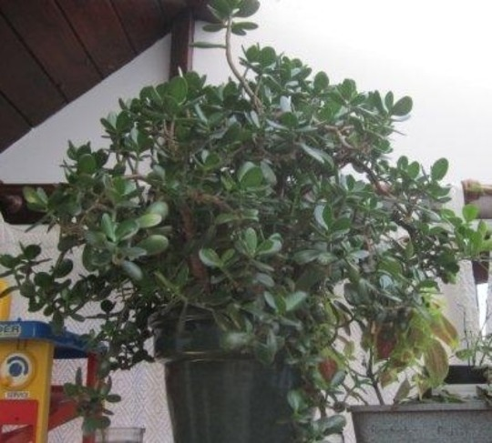 The 'money plant' is turning into a shrub or small tree!