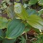 Medinilla myriantha (teysmannii) - Malaysian Orchid, Grapes (Medinilla myriantha (teysmannii) - Malaysian Orchid, Grape)