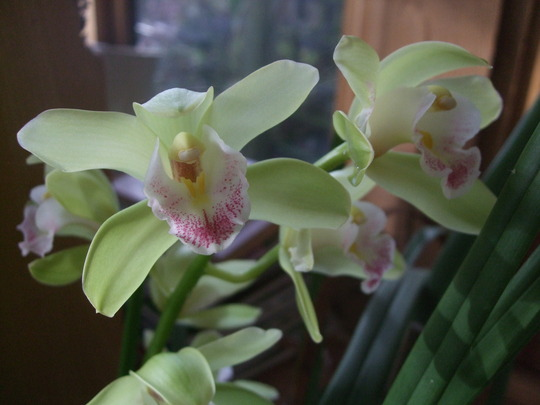 Cymbidium close-up. (Cymbidium)