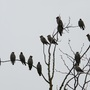 14 waxwings in a pear tree?