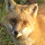 My daily Mr. Fox