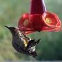 Gila_woodpecker
