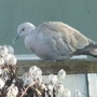 Clematis and Collared Dove (Clematis chiisanensis)