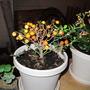 My daughter's ornamental Capsicum