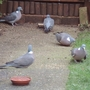 Hungry Woodpigeons
