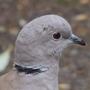 Collared dove head