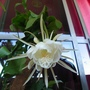 The Christmas gift (Epiphyllum oxypetalum)