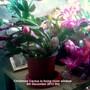 Christmas Cactus in living room window 05-12-2012 002 (Schlumbergera truncata)