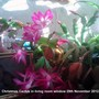Christmas_cactus_in_living_room_window_29_11_2012