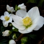 Helleborus Niger (Helleborus niger (Christmas rose))