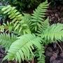 Dryopteris cycodina (Dryopteris cycadina)
