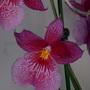 Orchid_cambria_4_2012