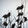 Waxwings  in Shrewsbury
