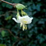 Winter Honeysuckle  (Lonicera fragrantissima (Shrubby honeysuckle))