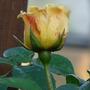 Still flowering in December (Rosa)