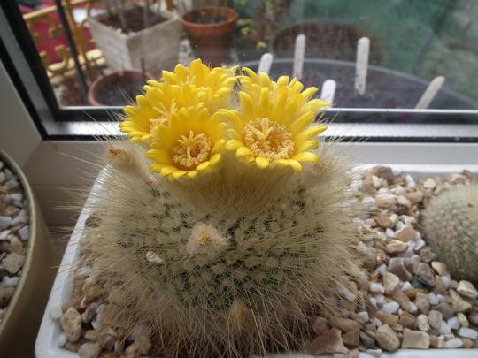 Cacti flowers closer