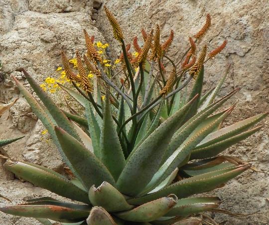 Flat flowered agave in Bryce Thompson Arboretum Arizona