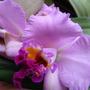 Orchid_cattleya_dec_2012