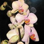 Orchidea_001