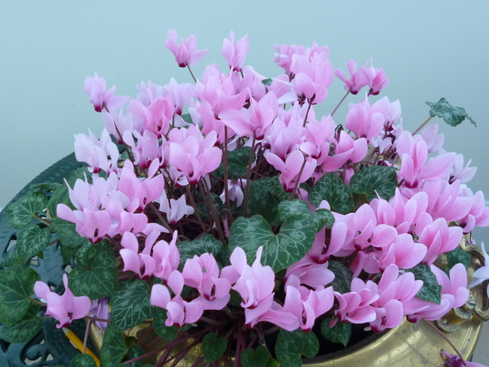 5 Cyclamen 4yrs on. (Cyclamen neapolitanum)