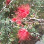Flowers of Fairy Duster ( Calliandra)