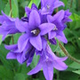 clustered bell flower (Campanula glomerata (Clustered bellflower))