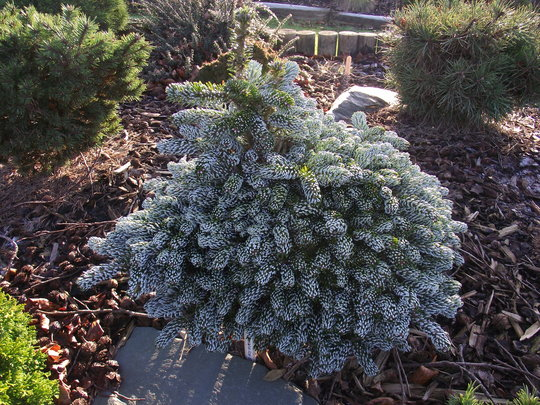 Abies Koreana Kohouts Icebreaker Grows On You