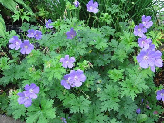 geranium (Geranium cinereum (Hardy geranium))
