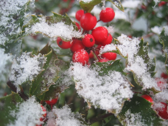 fresh snow on holly