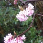 Viburnum x bodnantense 'Dawn' - 2012 (Viburnum x bodnantense 'Dawn')