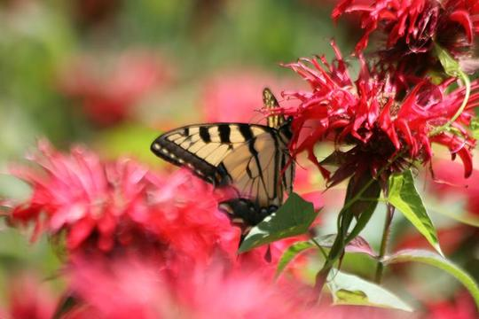 Swallowtail on Monarda