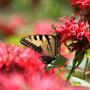Swallowtail on Monarda