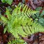 pretty lady fern (Athyrium filix-femina (Lady fern))