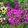 Pink Ice Plant (Delosperma cooperi)
