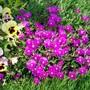Pink Ice Plant (Delosperma cooperi)