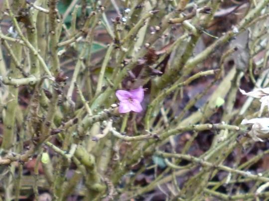 lonely little Daphne (Daphne mezereum (Dafne))