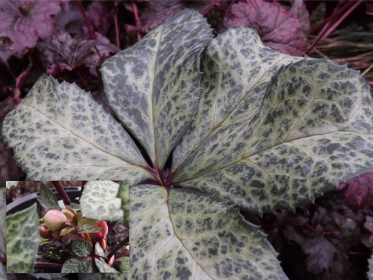 Helleborus x ericsmithii Winter Moonbeam (Helleborus x ericsmithii)