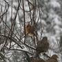 Cardinal_and_mourning_doves