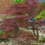 My walk to Tescos (Acer palmatum)