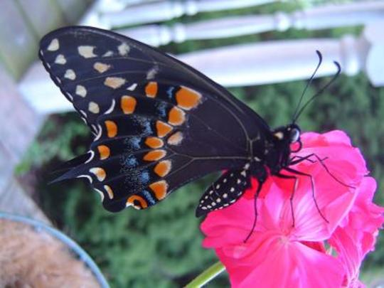Spicebush Swallowtail on Geranium