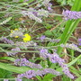 Lavender (Lavandula angustifolia (Lavender))