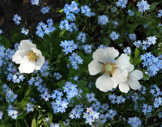 anemone sylvatica & myosotis
