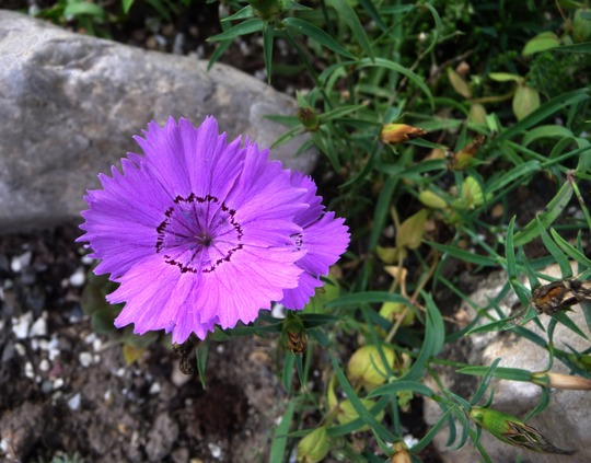 dianthus amurensis