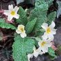 January primroses