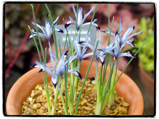 Iris bakeriana (Iris bakeriana)