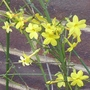 Jasminum_nudiflorum_2013