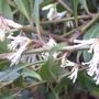 Sarcococca hookeriana var digyna - 2013 (Sarcococca hookerianum var digyna)