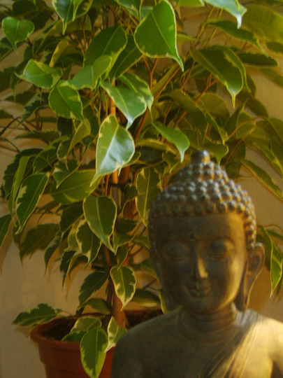Ficus Gold King (Ficus Gold King)